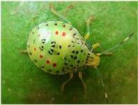 Bathycoelia natalicola