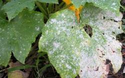 Sphaerotheca fulginae - Copy